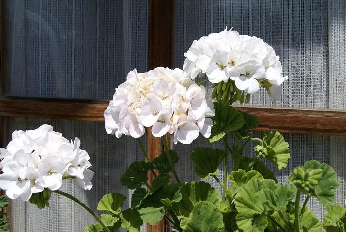 フウロソウ科の半耐寒性多年草。開花期は周年で、日なたと水はけの良い用土を好みます。東京以西では霜や雨にあたらなければ周年開花します。加湿に弱いので乾燥気味に管理しましょう。