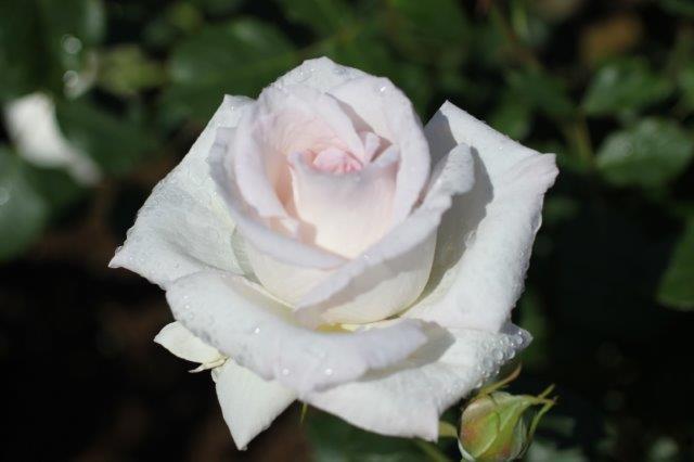 香りのバラコーナーや青いバラのコーナーなど、バラの魅力を多角的に感じることができるスポット。