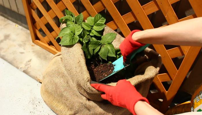 追肥のタイミングで土寄せをします。