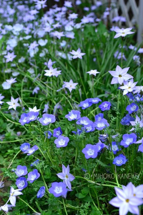 4月前半。段々花茎が伸びてきます。