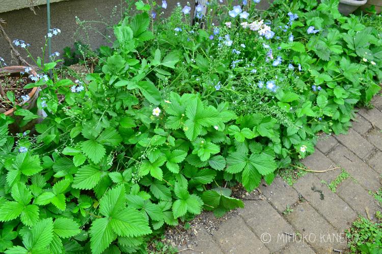 ワイルドストロベリーの隙間にネモフィラやネメシアなどの草花を植えてみました。