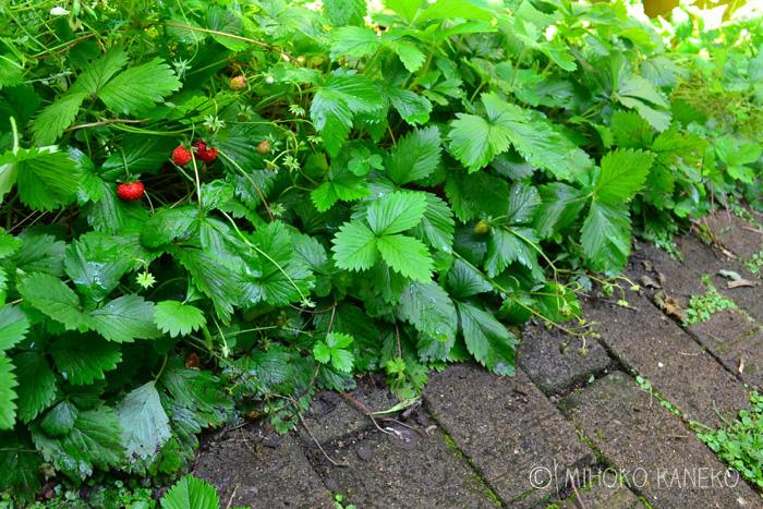 ワイルドストロベリーは、バラ科の常緑多年草のハーブです。ワイルドストロベリーという名前からもわかるように、イチゴの野生種なので性質がとても丈夫なハーブです。  料理としては実の部分をお菓子やジャムなどに利用できます。