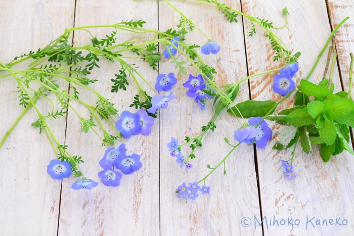 ネモフィラは、終わった花(花がら)をまめに摘み取るのがたくさん咲かせるポイントです。ネモフィラは乾かし気味に育てた方がいい植物なので、鉢植えで育てる場合には水のあげすぎに注意します。