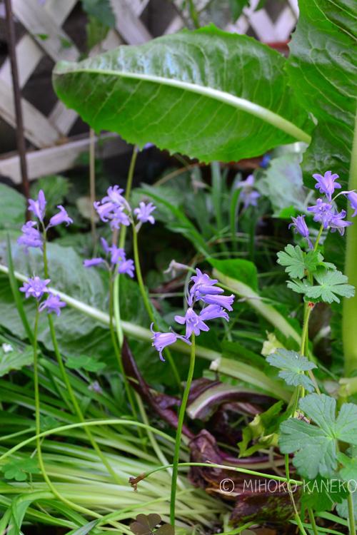 シラーの花・ブルー