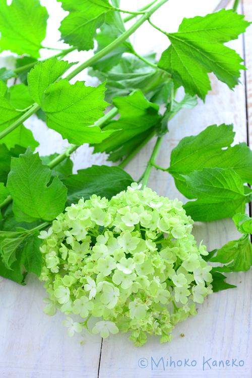 花が開いてきて、だいぶ緑の色が淡くなってきました。最終的にはほぼ白に近い色になります。