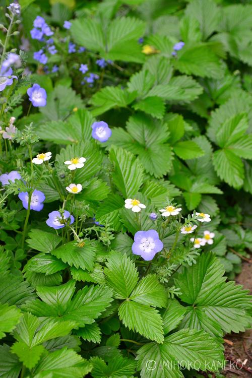 ワイルドストロベリーとネモフィラ(水色の花)