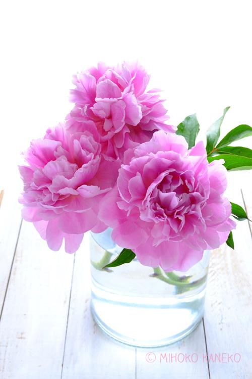 シャクヤクは5月~6月の初夏の季節に咲くボタン科の多年草です。  和名では「シャクヤク」、英名では「ピオニー」と呼ばれ、園芸品種をはじめ、生花としてもとても人気のある花です。バラも本来の開花時期は初夏ですが、バラの生花は通年出回っているのに対して、シャクヤクは出回りが5月~6月の開花時期の季節にだけ出回る花材です。シャクヤクの魅力と言えば開花した時の華やかさ!つぼみの時からは想像もできない大輪になる花姿がとても人気です。たっぷりと生けても、一輪で生けても、とても豪華に見える花材です。また、他のお花と組み合わせるのも素敵ですが、シャクヤクだけを1種生けしても素敵です。