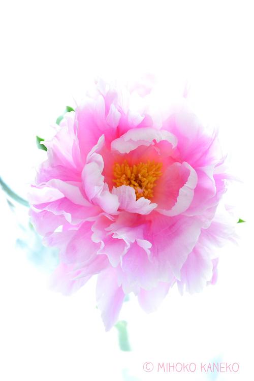 花芯が見えて花びらがそっくりかえってきたら、もうすぐ終わり。