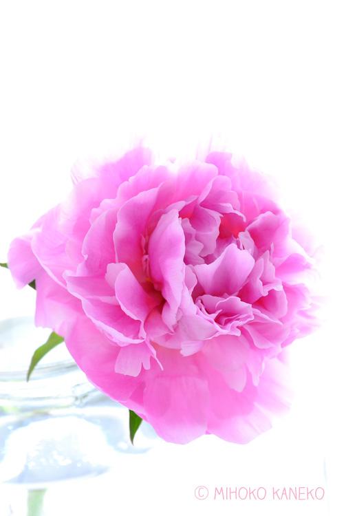 正面から見てもきれいですが、シャクヤクは横顔も美しい花です。