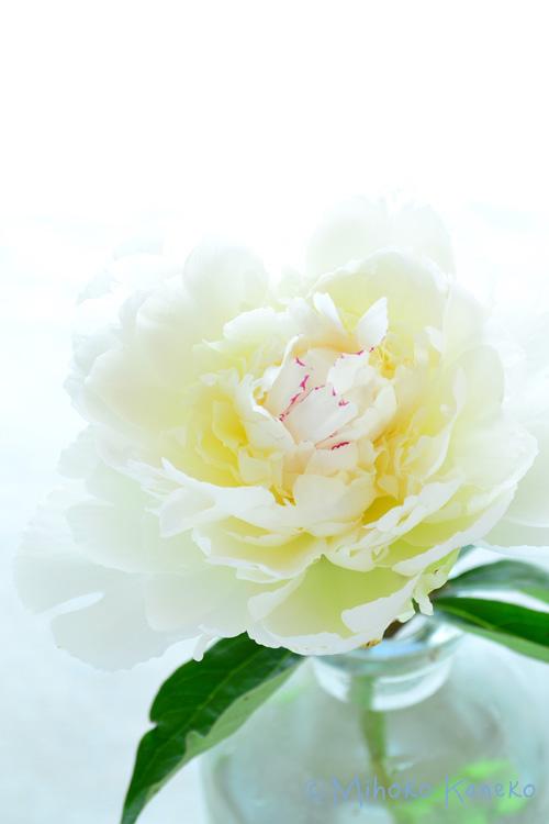 シャクヤクは5月~6月の初夏に咲くボタン科の多年草です。