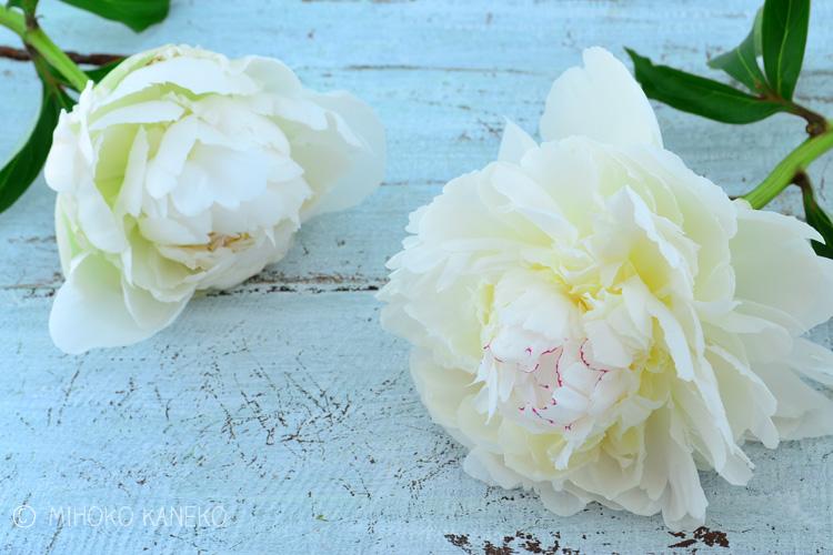 シャクヤクの魅力と言えば開花した時の華やかさ!つぼみの時からは想像もできない大輪になる花姿がとても人気です。たっぷりと生けても、一輪で生けても、とても豪華に見える花材です。また、他のお花と組み合わせるのも素敵ですが、シャクヤクだけを1種生けしても素敵です。