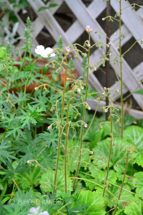 ユキノシタは花の時期以外は地を這うように生長しますが、初夏の5月ごろ、写真のように株元から細い花茎を出し開花します。花茎は30センチ~40センチくらいです。