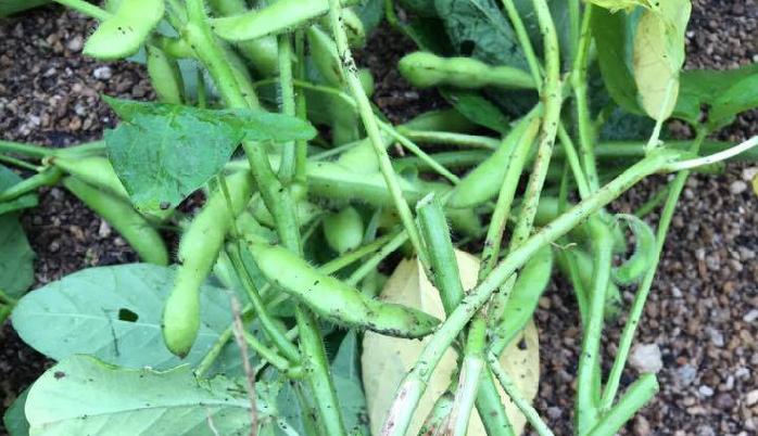 栽培 枝豆 初心者向け!エダマメの栽培方法・育て方のコツ|特集|読みもの|サカタのタネ 家庭菜園・園芸情報サイト
