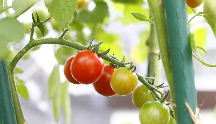 ミニトマト、エディブルガーデン、家庭菜園、土壌改良