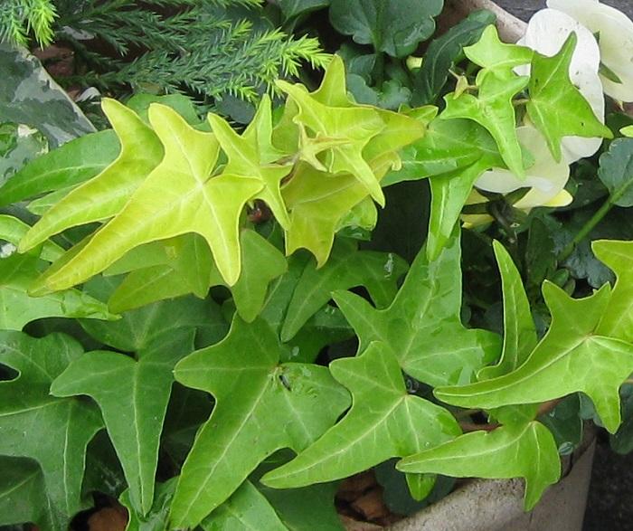 5.アイビーは屋外でも育てられる! これからの季節には、グリーンだけの寄せ植えが涼し気でメンテナンスも楽なうえに、長持ちしてくれるので重宝します。アイビーは、耐寒性も強いので季節を問わず花を植える際のアクセントにも使えます。