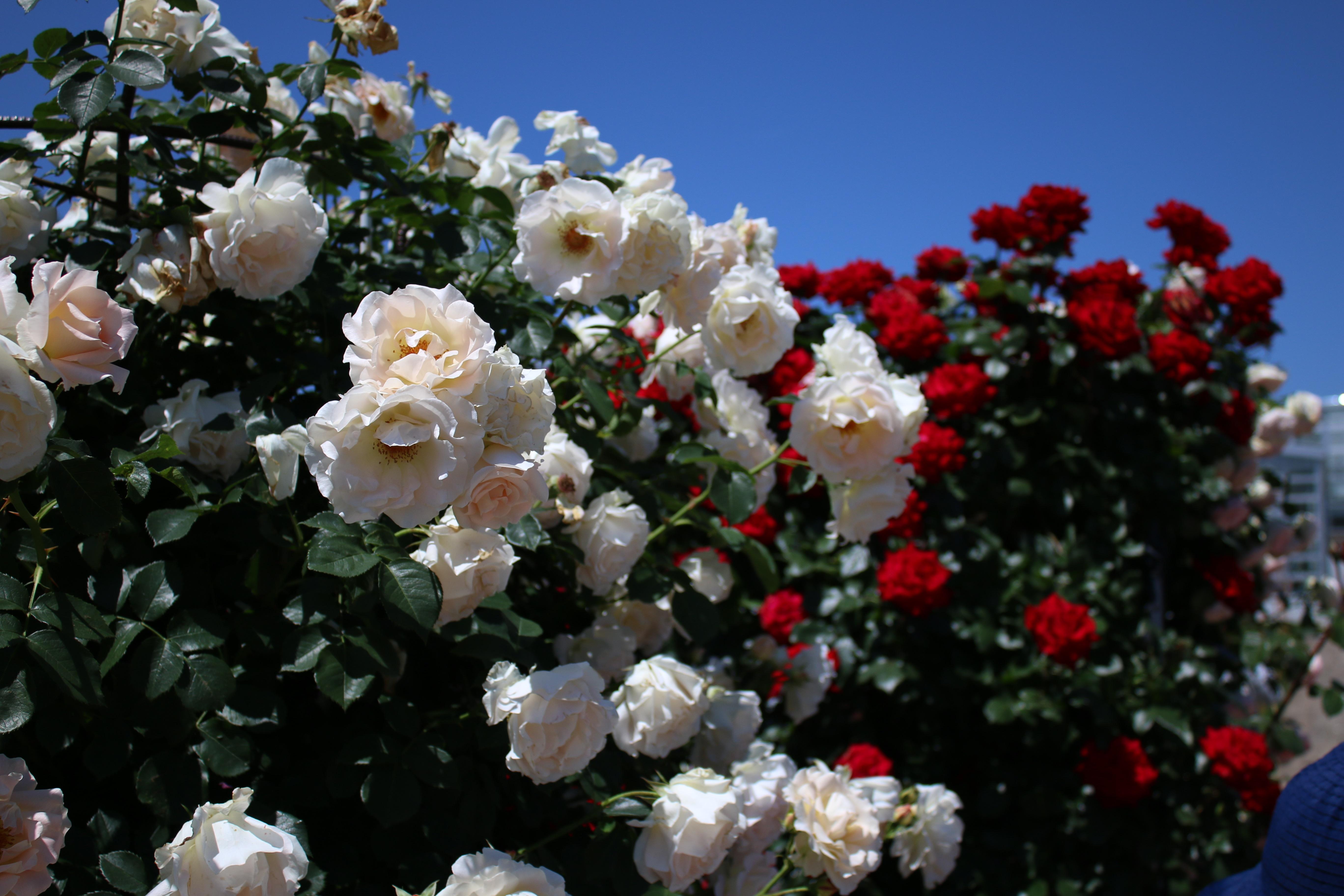 広々としたバラ園は視界を遮るものが少なく、青空とのコントラストを満喫できます。
