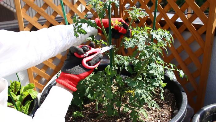 わき芽かきをする時は、どうしても株を傷をつけてしまいます。特にミニトマトは、傷口から病原菌が入りやすくなりますので、次の点に注意しましょう。  ・指でかきとるか、消毒したハサミを使用する。  ・わき芽をとった後の切り口が乾きやすいように、出来るだけ晴天の日に行う。  1週間のうちに2~3回は注意してミニトマトを観察すると、わき芽が小さいうちに取り除くことができます。