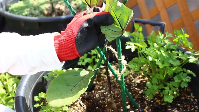 小さくて赤や黄緑色をしている「ハダニ」という虫の仕業かもしれません。乾燥すると発生しやすい害虫ですので、日頃から木酢液やニームの希釈液をスプレーして予防しましょう。あまりにもハダニの被害がひどい葉は取り除きましょう。