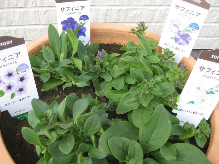 4月12日、サフィニアの9㎝ポットを4つ使って寄せ植えを作成しました。