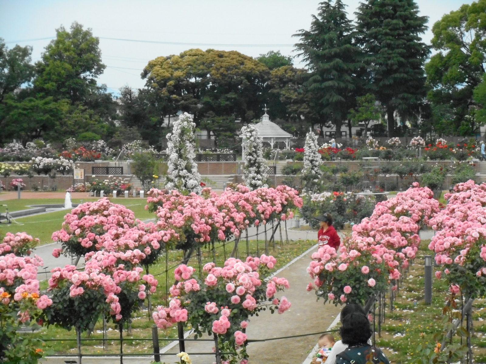 敷島公園ばら園は平成20年3月29日にリニューアルオープン。今後ますます人気のスポットになりそうです。