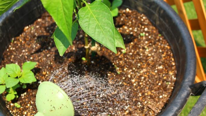 パプリカは、お水を好む性質がありますが、加湿にも弱い一面があります。そのため、パプリカの苗が小さいうちは土が乾いたら鉢底から水が出てくるまでしっかり与えましょう。  土が乾燥した状況が続いてしまうとパプリカの花が落花しやすくなり、実付きも悪くなります。せっかくなった実も水分不足でシワシワになってしまいます。ある程度パプリカの苗が大きくなった梅雨明け以降は、朝晩の水やりをしっかり行いましょう。