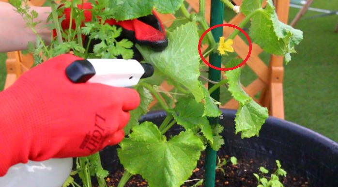 花の根元に、ミニキュウリがついていないものが雄花になります。  このように、一つの株に雌花と雄花がついています。  同じウリ科のズッキーニやスイカは、雌花と雄花を受粉させて実を作りますが、キュウリの花は受粉しなくても、実が大きくなる性質があります。  キュウリのように受粉せずに実をつけることを単為結果性(たんいけっかせい)といいます。  ※単為結果性(たんいけっかせい)…一般的に、受精せずに実ができることを単為結果性(たんいけっかせい)といいます。キュウリは自動的に実ができる性質があります。