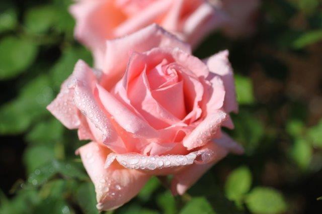 海からのさわやかな風とバラの甘い香りが交じりあいます。南国風の植栽も、バラ園としては珍しいかも?