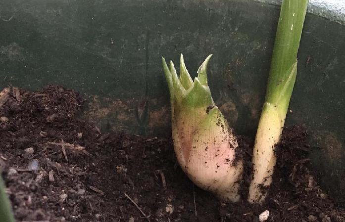 植え付け後1~2年目から収穫出来るようになります。 花ミョウガは株の周りに次々とでてきます。収穫の時期(7月~10月)がきたら株の周りの腐葉土をかき分けて、花ミョウガが出ていないかチェックしましょう。花穂は手で折って収穫ができます。 開花してしまうと風味が落ちてしまうので、できるだけ早めに収穫しましょう。  また、植え付け後2~3年目の新芽を遮光して軟白させて育てると、高級食材のミョウガだけができあがります。遮光期間2~3週間位の草丈が20cm頃切り取って収穫します。