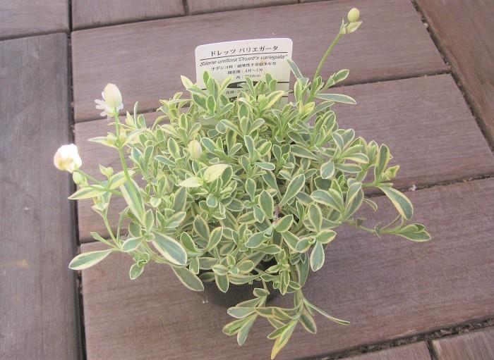 ナデシコ科の耐寒性多年草。花期は4~6月で、日向から半日蔭、水はけの良い用土を好みます。  寒さや乾燥に強く、夏の暑さや過湿に弱いです。やわらかい茎を伸ばした先に風船状に咲く花がとてもかわいらしいです。