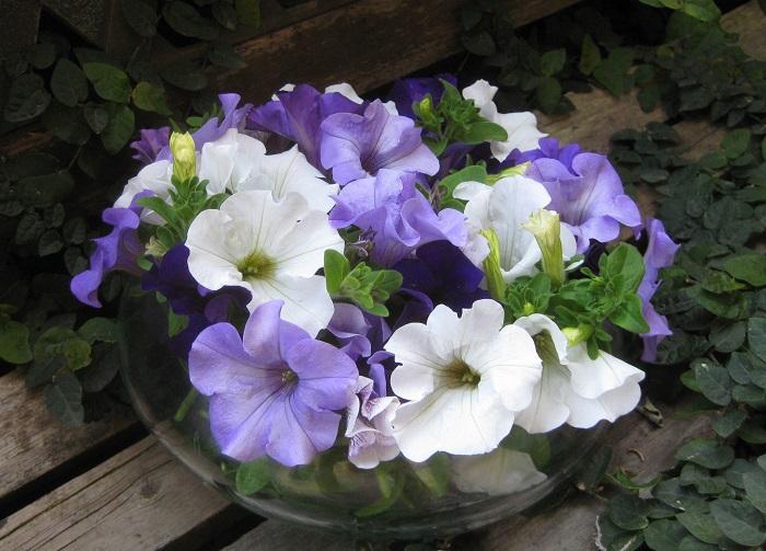 カットしたサフィニアの花は、お部屋に飾ると華やかでとてもきれいです。花は甘い香りがします。水に浸かる下の方の葉っぱは腐りやすいので、取って茎だけの状態で水に挿しましょう。