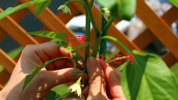 主茎と一番花の下の勢いのあるわき芽を2本伸ばし、それより下のわき芽は取り除きましょう。  育てているスペースが狭い場合は、主茎とわき芽を1本だけ伸ばす「2本仕立て」にすると少しコンパクトにまとまります。
