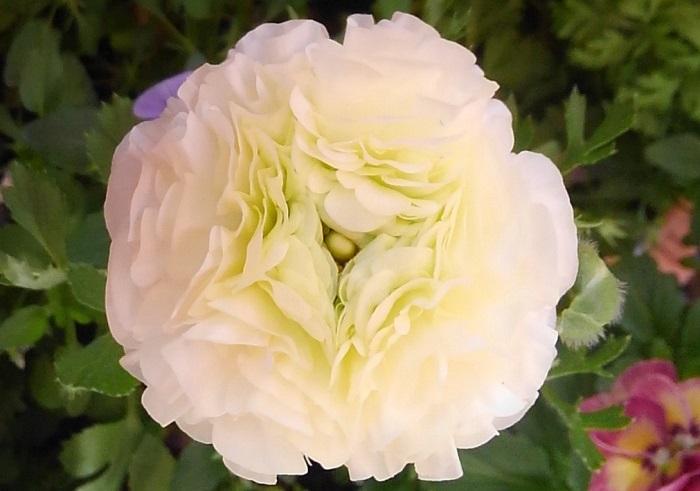 キンポウゲ科の半耐寒性球根。花期は4~5月で、日向と水はけの良い用土を好みます。  幾重にも重なった繊細な花びらがキュートで魅力的です。