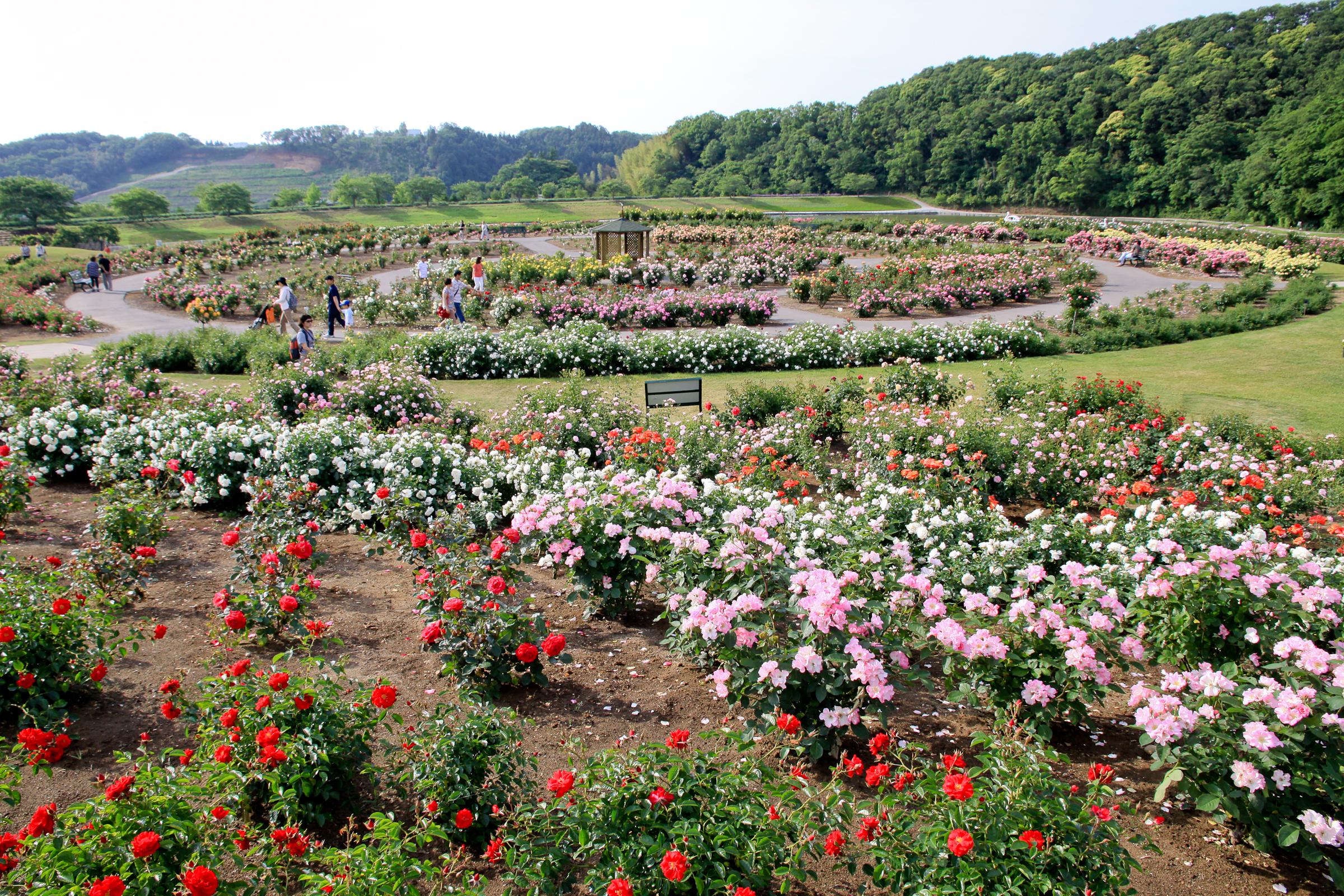 千葉県袖ケ浦市にある東京ドイツ村は、ドイツ風の建築物を背景に広大な芝生広場や動物園・アミューズメントエリア・収穫体験ゾーンなどを配した複合的なテーマパークです。またお花のエリアにも力を入れているスポットでもあります。入場ゲートを通ってすぐに広がる円形のローズガーデンには、約200種・5,000株の色とりどりのバラが咲き誇ります。