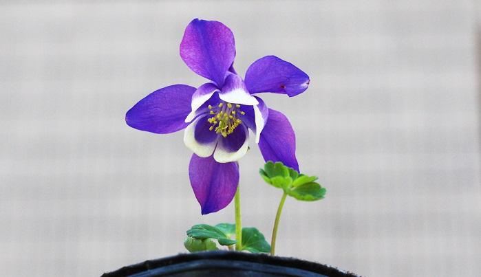 キンポウゲ科オダマキ属  キンポウゲ科の多年草(冬は根で冬越し)で、日本・アジア・ヨーロッパに70種自生しています。初夏~晩夏にかけて白っぽい色の花を咲かせます。  面白い形だけでなく、美しい!