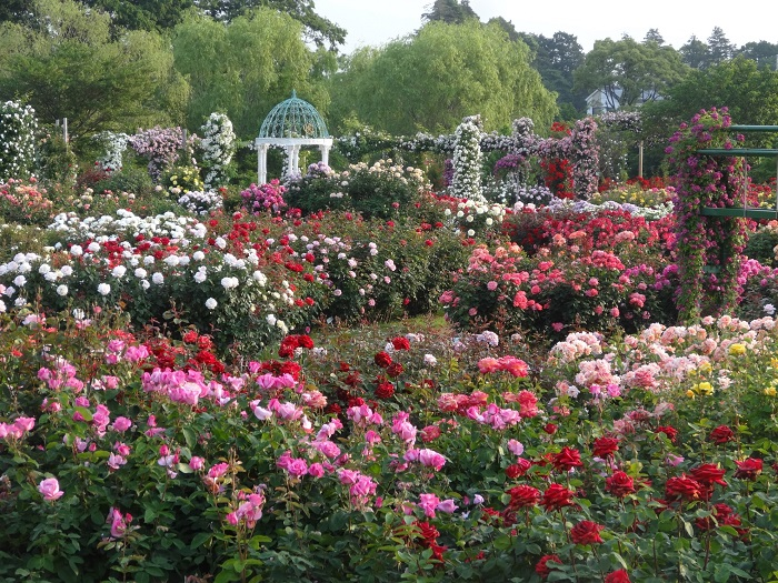 千葉県八千代市にある京成バラ園。知る人ぞ知る、関東でも最大級のバラスポットです。30,000㎡ の園内に原種、オールドローズから最新品種まで1,600品種・10,000株ものバラが植えられています。品種数・株数ともに全国でも有数の規模を誇るバラ園と言えるでしょう。