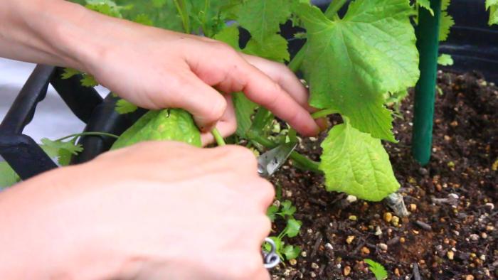 不要なわき芽、黄葉は取り除く。
