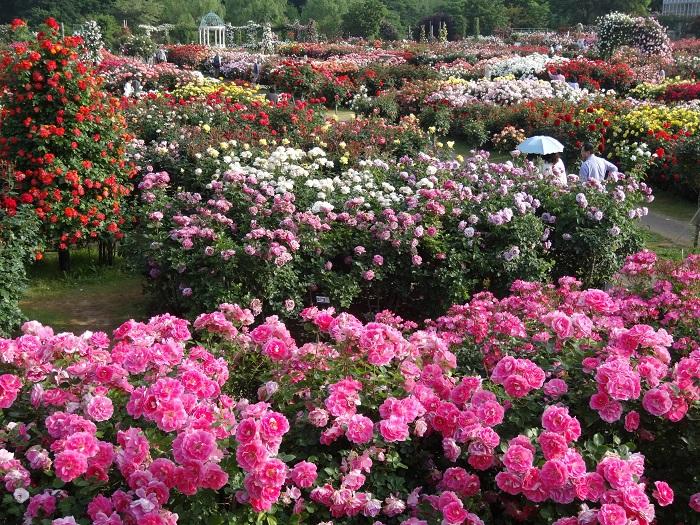 写真のようなきらびやかな整形式庭園だけでなく、自然風景式庭園があるのが京成バラ園の魅力の一つです。自然風景式庭園では、水の流れや木々緑の風景に溶け込んだ野バラを楽しむことができます。