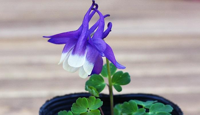 花弁の先端に向けて白へのグラデーションがかかっていて儚げですよね。