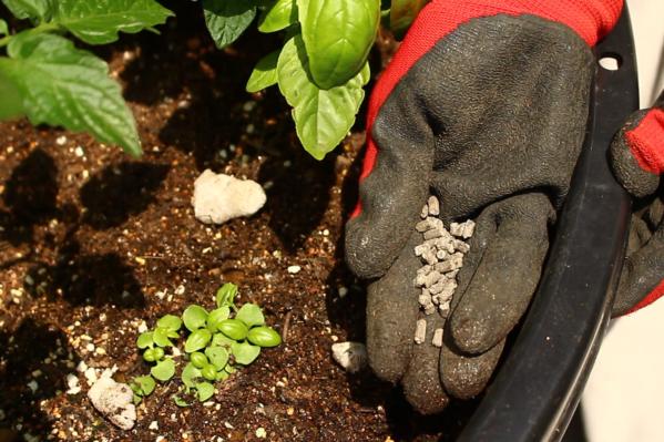 作物に対して肥料が多すぎると、つるボケといって、葉ばかり茂って実がなかなか付かなくなります。  ミニトマトの追肥は、ミニトマトの実がピンポン玉くらいになった時からスタートし、その後は2週間おきに追肥をしましょう。  肥料を施す位置は、葉が広がった先よりも少し先の方に施します。というのも、だいたい根の広がりというのは、葉の広がりと同じくらいといわれています。そのため葉の先を目安に肥料を施します。  与えすぎに注意しつつ、しっかり肥料を与えましょう。