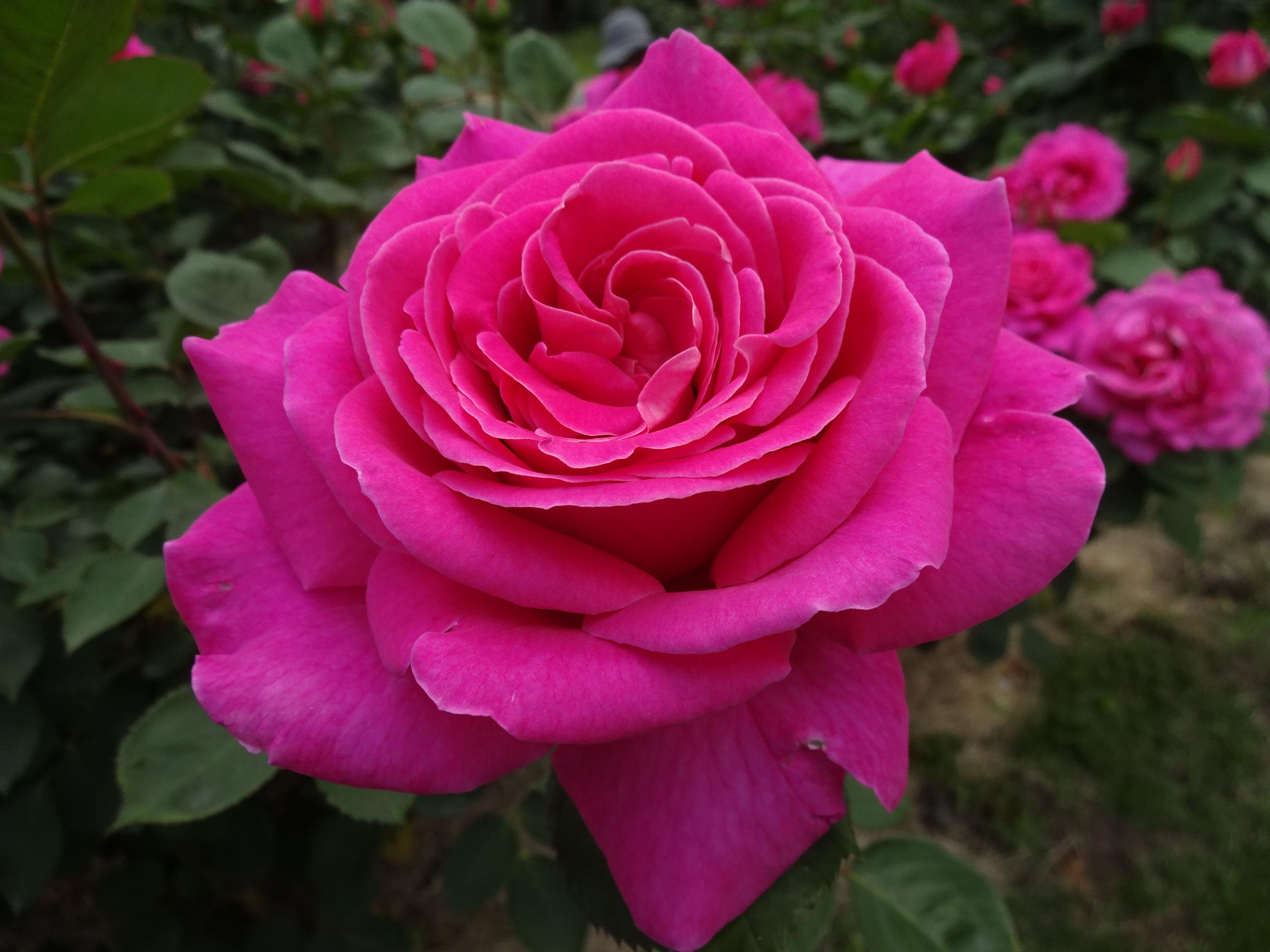 春のバラの時期には、ボタン園のなかにあるシャクヤクも見ごろを迎えます。ちょうどバラ園と同じく、5月下旬~6月中旬が旬。ぜひチェックしてみてください。