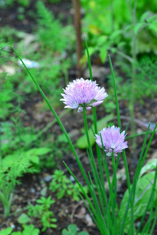 チャイブはネギの仲間のハーブ。5月~7月に写真のようなボール状の花がたくさん開花します。草丈が低いので鉢植えでも地植えでも育てることができます。
