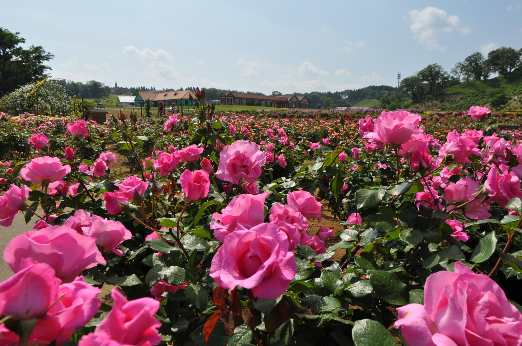 広々とした敷地に咲くバラとドイツ風の建物(カフェテリアなどとして利用されています)。ちょっとした旅行気分に浸れそうですね。