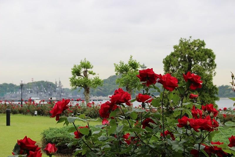 横須賀は海軍の歴史と切っても切れない縁のある街。公園の名前にもあるヴェルニーが造船技師だったこともあり、公園内には軍艦長門・山城をはじめ多くの海軍にまつわる石碑があります。歴史や海軍・戦艦に興味がある方は、バラと一緒に楽しみたいですね。