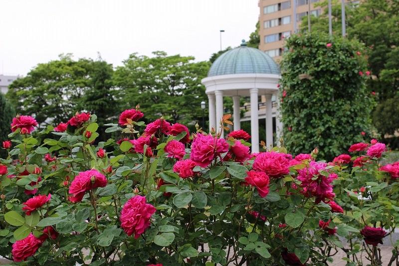 バラはいろいろなシーンを飾るにふさわしい花ですが、とくに似合う風景のひとつに港が挙げられるのではないでしょうか。今回ご紹介するのは、横須賀港を間近に望む神奈川県横須賀市のヴェルニー公園です。ヴェルニー公園は横須賀製鉄所の建設に貢献したフランス人技師ヴェルニーにちなんで整備された公園で、園内は幾何学的なフランス整形式庭園の方式で整えられています。そこに咲くバラは約1,400株。毎年春のバラの時期にはローズフェスタが開催され、多くの人を楽しませています。