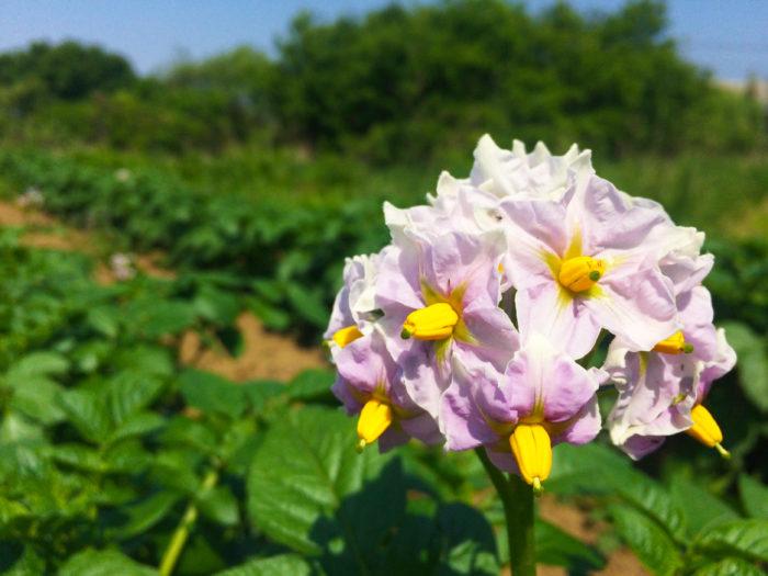 ジャガイモの花は白または紫色で、同じナス科のミニトマトのような赤くて小さい実をつけます。そのままにしておくと、ジャガイモ苗の余分な体力を奪ってしまうため、摘花(摘果)するといいでしょう。