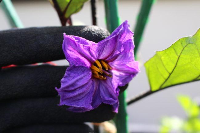 「秋茄子は嫁に食わすな」ということわざにもあるように、ナスは上手に育てると、秋まで長く収穫できます。長く元気に育てるために、しっかり仕立てていきましょう。  苗を植えて1週間以上がたち、そろそろ新しい土に活着して一番花が咲いた頃です。この一番花を起点にナスは3本に仕立てていきます。