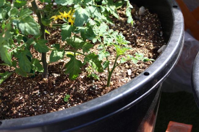 大きく育ち過ぎたわき芽は無理に切り取らずに、仕立てる本数を増やしましょう。  もし、切り取ったわき芽が大きいものだったら、そのまま土にさしてお水をあげると根付いて新たに苗として生長しますのでお試しください。