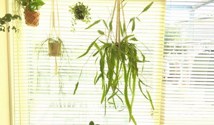 Lepismium houlletiana  リプサリスではないのですが、似た見た目をしているレピスミウム・ホーレティアナです。ノコギリの様な葉が特徴的。大鉢のハンギングが一鉢あるだけでお部屋の雰囲気が良くなりますね。