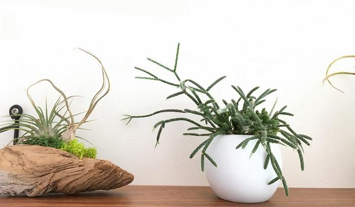 Rhipsalis pilocarpa  お砂糖をまぶしたように細かな毛にうっすら覆われています。飾り棚にちょこんと置いてもそのユニークな姿が目をひきますね。