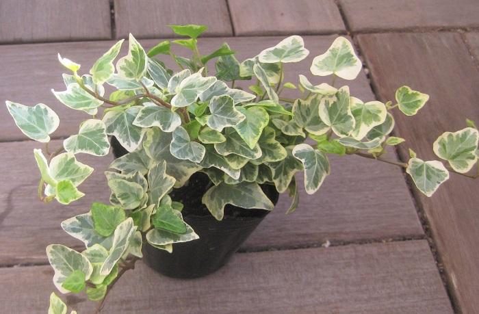 アイビーはお庭の植栽や寄せ植えアレンジに使われたり、室内で育てる観葉植物としても人気があります。比較的どんな環境でも適応してくれます。明るい場所で風通しをよくして管理しましょう。